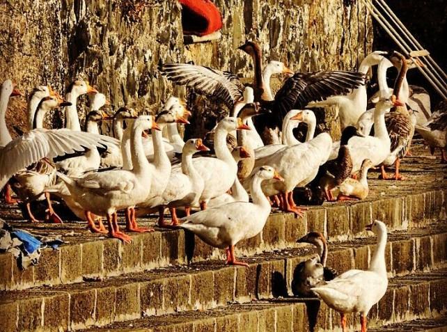 Ducks @Valkeshwar