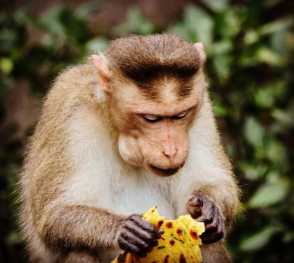 A monkey that claims to be a gujju, eating Thepla @Dudhsagar Waterfalls, Goa