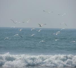 Migrating birds @Guhaghar, konkan